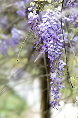 Wisteria (ddsnet) Tags: plant flower sony hsinchu taiwan 99   wisteria  slt     sinpu hsinpu      singlelenstranslucent 99v