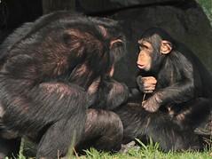 chimpansee Beekse bergen IMG_0089 (j.a.kok) Tags: pan chimpanzee bergen troglodytes beekse chimpansee