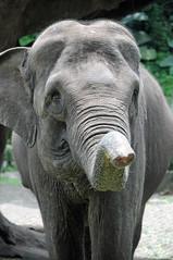 Indian Elephant at Taman Safari Park, East Java (ollygringo) Tags: park elephant tourism nature animals indonesia java wildlife safari mammals indianelephant eastjava tamansafari