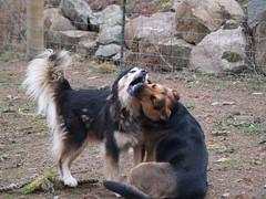 (coopersdogpatch) Tags: dogs 2009 bentley autzen