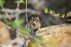 eastern chipmunk IMG_5646 (lreis_naturalist) Tags: reis chipmunk larry eastern