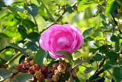 Rose by Amir Latif