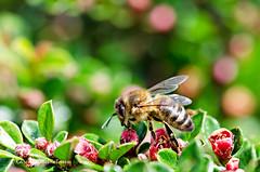 bee & bokeh 18/52 (sure2talk) Tags: bee honeybee 1852 beebokeh nikond7000 thepinnaclehof nikkor85mmf35gafsedvrmicro 52weeksfornotdogs tphofweek254 tpbokehshallowdof 100words94truth