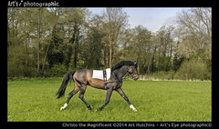 Christo the Magnificent! (Art's Eye photographic) Tags: trees horse field grass training woods westsussex meadow harness bit halter stallion thoroughbred equine tack westchiltington lungework