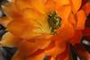 IMG_1415 - Version 2 (Chic Bee) Tags: arizona cactus insect tucson sonorandesert pollination southwesternusa insectidentification orangetorchcactus