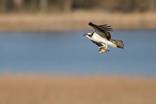 Osprey Breakfast_40145.jpg