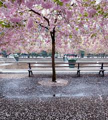 Kungsträdgården, May 14, 2010 (Ulf Bodin) Tags: canon sweden stockholm cherryblossom sakura sverige kungsträdgården stockholmslän canoneos5dmarkii canonef24mmf14liiusm körbärsblom