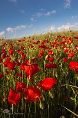 Rouge et flou (photosenvrac) Tags: portrait nature rouge vert bleu champ coquelicot poitou thierryduchamp