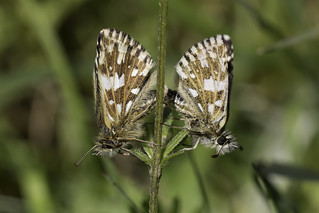 Grizzled skippers pair #2