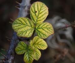 Vert tendre (mnathalie66) Tags: hiver vert gele nikon5200 feuillage