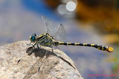 Onychogomphus uncatus ( BlezSP) Tags: madrid libélula odonata anisoptera gomphidae onychogomphusuncatus
