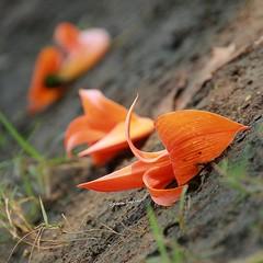 ประเทศไทยมีดอกไม้ที่ออกปีละครั้งตั้งตารอ  ทองกวาว คนรู้จักน้อย แต่สวย --------------------------------------------------------- เห็นทองกวาวแสนร้าวจิตให้คิดถึง รักครั้งหนึ่งในอดีตก่อนเก่ามา นึกถึงคราวเจ้าผลิดอกเขาบอกสัญญา ทองกวาวจ๋าบอกเขาหน่อยข้ายังคอยรอ -