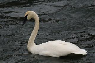 Trumpeter swan, Yakima River