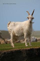 Kambing (zulbaning) Tags: goat kambing