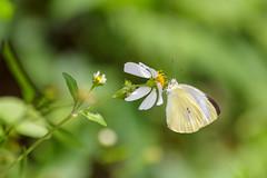 Keelung, Taiwan _IMG_8506 (Len) Tags: macro butterfly   keelung   6d 70300   ef70300mmf456isusm   talbotianaganum  karumii