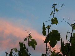 (Psinthos.Net) Tags: sky nature leaves clouds countryside spring may vine after nightfall pinkclouds vineleaves  purpleclouds  orangeclouds   psinthos