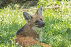Mhnenwolf (LuposAter) Tags: animal animals zoo tiere wolf frankfurt sony lobo alpha tier 58 jungtier loboguara maned mhnenwolf