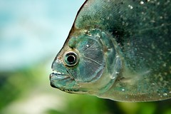 Piranha Face (imageClear) Tags: fish chicago nature face closeup aquarium illinois aperture nikon flickr photostream piranha sheddaquarium d600 imageclear 2470mmvr