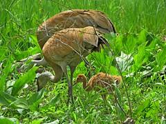 Sandhill Crane Family (Photos by the Swamper) Tags: birds cranes sandhillcranes