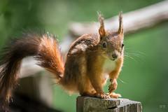 Petit roux (danquier55) Tags: ecureuil roux sciurus vulgaris domaine des oiseaux mazres