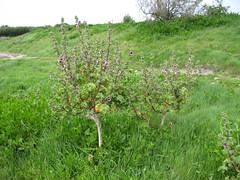 Pelargonium Trees (helbelgu) Tags: st agnes isles scilly