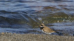 Sandla - Ringen Plover (ingolfssonvalur) Tags: bird birds wildlife ringedplover charadriushiaticula ingvallavatn sandla