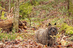 Sedum - 5/5/16 (myvreni) Tags: pet dogs animals spring vermont cairnterrier
