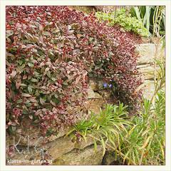 Garten W in W, helmkraut (scutellaria cordifolia) | 2015-04 (Brigitte Rieser) Tags: garden private spring jardin garten frhling privat polygala chamaebuxus helmkraut buchskreuzblume