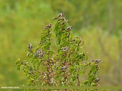 European Goldfinch (Carduelis carduelis) (gilgit2) Tags: pakistan birds fauna canon geotagged wings wildlife feathers tags location species tamron category yasin avifauna hundar cardueliscarduelis europeangoldfinchcardueliscarduelis gilgitbaltistan imranshah canoneos7dmarkii tamronsp150600mmf563divcusd gilgit2