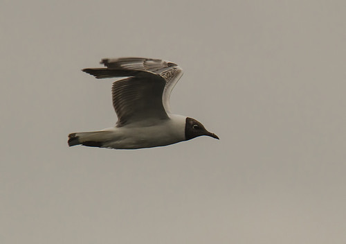 Rudagalvis kiras / Larus ridibundus / Black-headed Gull