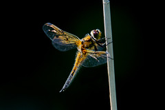 Dragonfly  2016-06-06_03 [Explored 2016-06-07] (Jan Thomas Landgren) Tags: nature natur wildlife wetland wetlands sony sweden sverige sonyilca77m2 sonya77mark2 sonya77ii tamron tamron150600mm västergötland animal animals djur dragonfly dragonflies trollslända slända insect insects insekt insekter dettern explore explored
