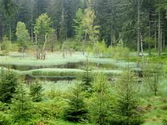 Tourbire (MAPNANCY) Tags: eau vert couleur vosges sapins tourbire