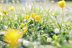 Be stubborn about you goals, and flexible about your methods. (Sandra H-K) Tags: flowers sunlight green nature grass sunshine yellow backlight outside outdoors spring flora bright bokeh may backlit ontheground springtime hbw bokehwednesday