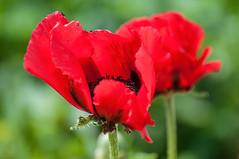 Fleurs de pavot (Joanne Levesque) Tags: flowers red closeup fleurs rouge montreal poppy botanicalgarden jardinbotanique pavots nikond90