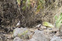 eared dove (arcibald) Tags: peru dove cusco andes laguna lucre eareddove zenaidaauriculata huacarpay lagunadehuacarpay