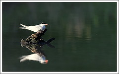 Sterne pierregarin (guiguid45) Tags: bird nature nikon oiseaux tang sauvage sternahirundo loiret 500mmf4 d810 sternepierregarin
