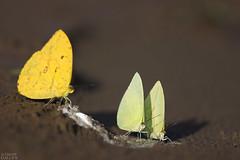 Puddling pierid butterflies (ggallice) Tags: peru butterfly amazon rainforest salt mariposa birddroppings pieridae madrededios tambopatariver puddling tambopataresearchcenter apricotsulphur aphrissastatira phoebisargante tambopatanationalreserve reservanacionaltambopata palesulphur