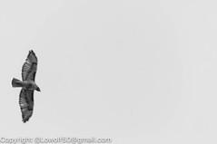 RedTailHawk battle 12_DSC5610.jpg (orig_lowolf) Tags: usa home oregon nikon flickr flight crow attacking redtailedhawk lakeoswego d300s sigma150500mmf563afapodgoshsmtelephotozoom