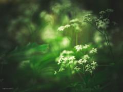 (N.H. || Photography) Tags: white flower macro green nature field closeup forest dof bokeh 10 olympus mm em makro f28 omd em10 mzuiko