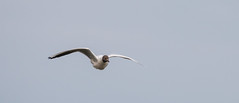 Black Headed Gull.-8671 (WendyCoops224) Tags: black canon eos suffolk gull flight headed 70d 100400mml wendycooperspringwatch