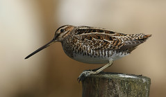 Snipe (Gallinago gallinago). (Sandra Standbridge.) Tags: bird animal durham post outdoor snipe commonsnipe gallinagogallinago wildandfree lambbokeh