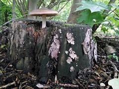 IMG_20160524_161342 (Бесплатный фотобанк) Tags: гриб лес пень россия москва