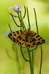 Pseudopanthera macularia - Speckled yellow - La Panthre (Sbastien Vermande) Tags: summer france flower macro fleur butterfly insect bokeh lot papillon t mariposa farfalla macrolens macrophotography midipyrnes macrophotographie insectmacro sigma150 canon7d sigmaapoteleconverter14xexdg vermande pantterimittari
