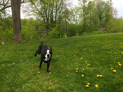 Bully 2016 (lezumbalaberenjena) Tags: dog chien ontario canada boston ottawa perro terrier bully chiot canad 2016