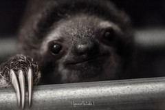 Emerging from the shadows... a baby sloth! (SpencerTheCookePhotography) Tags: macro cute nature canon mammal costarica wildlife adorable depthoffield sloth centralamerica threetoedsloth babysloth spencerthecookephotography slothsanctuarycr