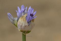 Bud (David Lev) Tags: flower bud agapanthus nirim