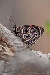 Callicore sorana (douglashamelo) Tags: butterfly insect lepidoptera inseto borboleta mariposa caatinga nymphalidae