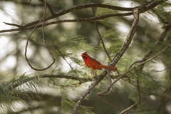 Northern Cardinal (Cardinalis cardinalis) (Elijah Otto) Tags: red tree green bird nature animal hawaii cardinal wildlife northern audubon
