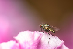 151/366 2016 - Fly on a rhododendron petal (fishyfish_arcade) Tags: pink macro insect fly nikon rhododendron sigma105mmf28 d3200