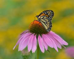 AFC_3865_8x10 (thorntm) Tags: flower macro butterfly purpleconeflower monarchbutterfly conefower thebestofday nikond800 mdtpix allnaturesparadise